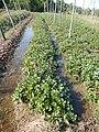 0581jfLandscapes Roads Vegetables Fields Binagbag Angat Bulacanfvf 04.JPG
