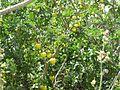 11-05-2017 Black spine nightshade, (Solanum linnaeanum), Olhos de Água (1).JPG