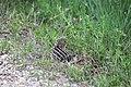 13 lined ground squirrel.jpg