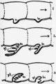 1911 Britannica-Arachnida-Kingsley.png