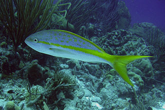 Yellowtail snapper - Underwater photo of a yellowtail snapper (Ocyurus chrysurus)