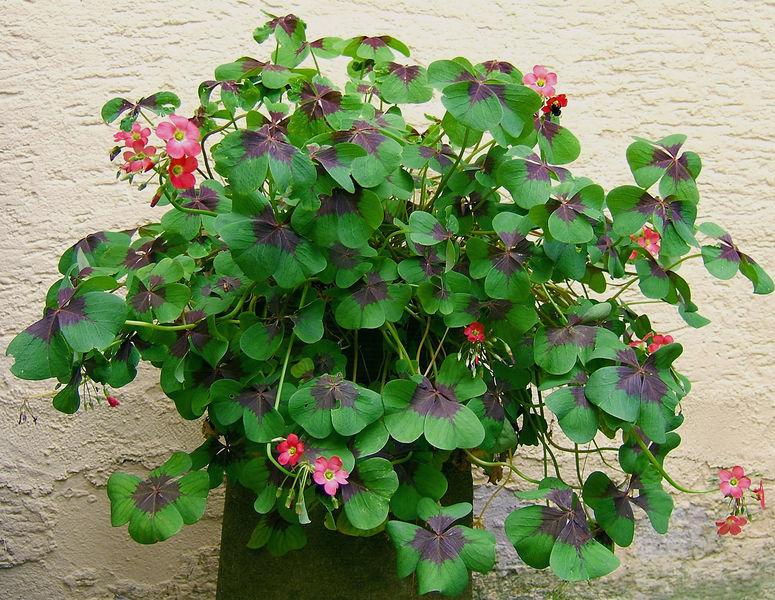 Datei:2007-07-01Oxalis tetraphylla04.jpg