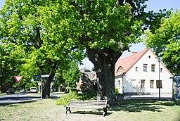 ND 332-02 - Eichen am Denkmal Michendorf-Langerwisch Kreis Potsdam-Mittelmark Brandenburg