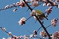 2013-365-63 Bird in Blossoms (8528443784).jpg