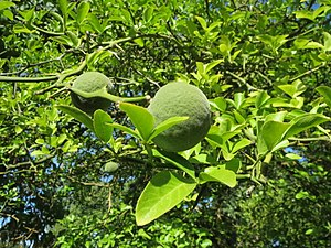 Trifoliate orange - Image: 20130817Citrus trifoliata 3