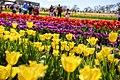2013 Tesselaar Tulip Festival (9873300314).jpg