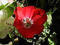 2014-01-01 12-42-58 tulipa-4f.jpg
