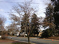 2014-12-30 13 10 27 Mimosa along Pennington Road (New Jersey Route 31) in Ewing, New Jersey.JPG
