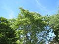 20140613Ailanthus altissima1.jpg