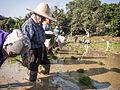 2014 Rice planting Mae Chan district 1.jpg