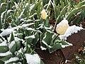 2015-04-08 07 57 47 A wet spring snow on Tulip blossoms along 11th Street in Elko, Nevada.jpg