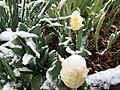 2015-04-08 07 58 04 A wet spring snow on Tulip blossoms along 11th Street in Elko, Nevada.jpg