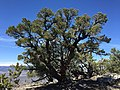 2015-04-28 12 20 50 An older Single-leaf Pinyon on the south wall of Maverick Canyon, Nevada.jpg