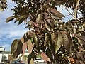 2015-09-26 09 17 51 White Ash with foliage beginning to change color for autumn along Wiley Post Way in Salt Lake City, Utah.jpg