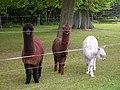 20150508730DR Ahlsdorf (Schönewalde) Schloßpark Alpakas.jpg