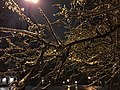 2016-02-16 01 14 05 Freezing rain on crabapple branches at night along Dairy Lou Drive in the Franklin Farm section of Oak Hill, Fairfax County, Virginia.jpg