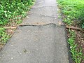 2017-05-07 16 59 29 Large root of a Red Mulberry tree causing an asphalt walking path to buckle in the Franklin Glen section of Chantilly, Fairfax County, Virginia.jpg
