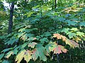 2017-09-11 16 06 48 Early autumn leaf coloration on a Sugar Maple along the CCC Road at about 2,060 feet above sea level on the western slopes of Mount Mansfield within Mount Mansfield State Forest in Underhill, Chittenden County, Vermont.jpg