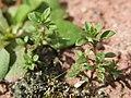 20170316Arenaria serpyllifolia.jpg