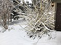 2018-03-21 10 30 08 A Forsythia covered in snow while flowering along Tranquility Court in the Franklin Farm section of Oak Hill, Fairfax County, Virginia.jpg