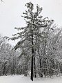 2018-03-21 12 54 27 A snow-covered Eastern White Pine along a walking path in the Franklin Farm section of Oak Hill, Fairfax County, Virginia.jpg