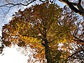 2018-11-20 16 10 56 View up into the canopy of a large American Beech along a walking trail in the Franklin Glen section of Chantilly, Fairfax County, Virginia.jpg