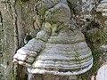 2019-04-25 (154) Fomes fomentarius (tinder fungus) at Haltgraben in Frankenfels near Schwabeck-Kreuz, Austria.jpg