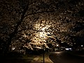 2020-03-25 01 36 35 A White Flowering Cherry tree at night with blossoms illuminated by a sodium-vapor street light along Ladybank Lane in the Chantilly Highlands section of Oak Hill, Fairfax County, Virginia.jpg