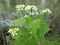 20200413Alliaria petiolata2.jpg