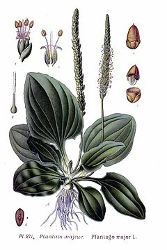 """Trputac"" (Plantago major)"