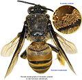 3-Horstiella variabilis on Epicharis-metatarsalis BMOC 97-0331-014.jpg