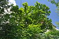 46-101-5040 Lviv Konovaltsia 94 Magnolia Soulangeana RB.jpg