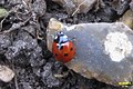 7-spot ladybird (BG) (6813115758).jpg