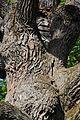 71-212-5020 Shevchenko Oak DSC 5081.jpg