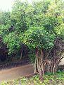 9 Canthium inerme tree - Turkeyberry - CT 5.jpg