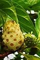 ANTIGUA-noni-frucht.jpg