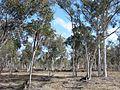 AW Eucalyptus wandoo 3 Brookton Highway NR XII-2010.JPG