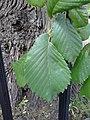 AZ0116. Ulmus x hollandica (curled Leaves). Royal Circus Gardens, Edinburgh. (05).jpg