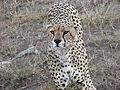 A Cheetah in Tanzania.jpg