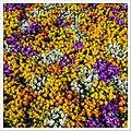 A Sea Of Flowers (I) (38279221341).jpg