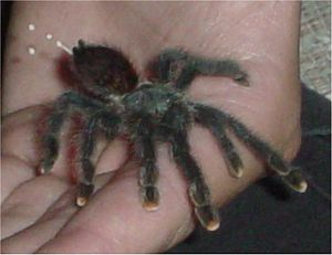 A avicularia excrement.jpg