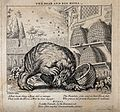 A bear has overturned a beehive and is attacked by bees. Etc Wellcome V0022964.jpg