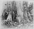 A cedar tree in Washington, 18 feet in diameter LCCN2004665743.jpg