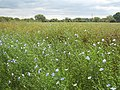 A field of linseed beside the Thames - geograph.org.uk - 746870.jpg