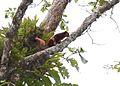 A flying squirrel - Flickr - Pasha Kirillov (2).jpg