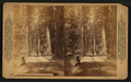 A forest scene in California, from Robert N. Dennis collection of stereoscopic views.png