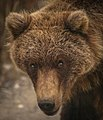 A grizzly bear walks along the park road near the Sable Pass closure sign on Sept. 1, 2019. (a297c200-09dd-41a9-9512-783bad3dd199).JPG