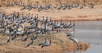 Demoiselle crane - Congregation of cranes in Khichan, Rajasthan