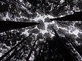 A scene of trees peak ooty nilgiris, india.jpg