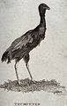 A trumpeter (large black South American cranelike bird of th Wellcome V0020722.jpg